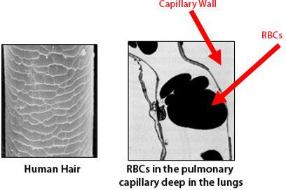human-hair-and-rbc2.jpg